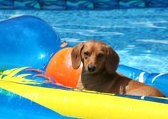 Putter relaxing in the pool.