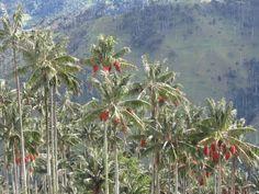 Ceroxylon, una de las palmeras más altas - http://www.jardineriaon.com/ceroxylon-una-de-las-palmeras-mas-altas.html