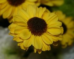 Viking Yellow - Spray (Pompoms) - Chrysanthemum - Flowers by category | Sierra Flower Finder