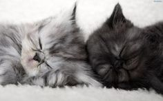 and .. and .. and .. kittens two gray-bure both;) #sweet #cats #pets