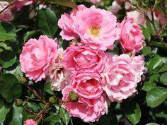 Beetrose 'Sommerwind' ® - Rosa 'Sommerwind' ®