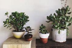 Guía botánica #3: Crassula Ovata – Casa Chaucha