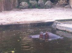 Hippopotamus, Frankfurt, Animals, Animales, Animaux, Animal, Animais