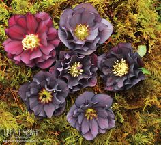 Helleborus Winter Jewels™ 'Onyx Odyssey' - Take a dark voyage into the world of double slate, purple and black flowers. Long lasting bloom color, which doesn't fade to green, makes this strain a better value in the retail store. One of the world's top hybridizers, Marietta O'Byrne has created this wonderful Winter Jewels™ Strain. A delight in the winter garden. Deer resistant!