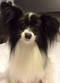 Cookiemonster the cute Papillon dog