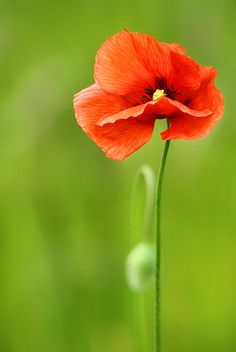 Poppy Flower | Tattoo Ideas & Inspiration - Flowers | Symbolism attached to the poppy flower includes eternal sleep, rest, oblivion and imagination, as well as magic, consolation, fertility, and eternal life. Poppies, particularly red ones, are also used as a symbol of sacrifice, and to honor soldiers who have died in war.