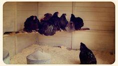 Avant d'installer un perchoir pour les poules, il faut savoir qu' elles cherchent à se percher pour dormir. Elles ont besoin d'un lieu où elles se sentent protégées des prédateurs et du froid venant du sol. Il leur faut un perchoir adapté et confortable. Ainsi elles seront en forme le lendemain matin, dès les premières lueurs de l'aube.