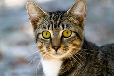 tabby young cat