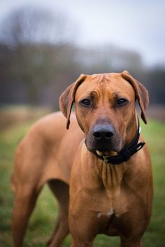 Rhodesian Ridgeback - I have totally fallen in love with these dogs. Originally trained to hunt lions but have a sweet temperament towards humans.