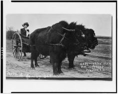 """""""A Daring Act""""—Woman on a cart drawn by two bison, 1910 (via Library of Congress)"""