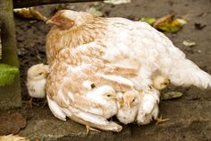 Are there special preparations I should make if I want to have a broody hen adopt and raise my shipped chicks?