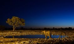 The African savanna!