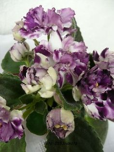 African-Violet-Saintpaulia-AE-Iceberg-blooming-plant-Russian-Variety AE - Iceberg  Hybridized by: E.Arkhipov  Beautiful purple flowers with white edges of petals and white pepper fantasy. Medium green foliage. Standard