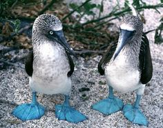 The blue-footed booby (Sula nebouxii), in Galapagos Islands - Ecuador Love Birds, Beautiful Birds, Animals Beautiful, Cute Animals, Funny Animals, Baby Animals, Funny Cats, Beautiful Things, Especie Animal