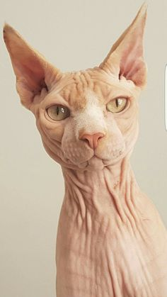 Discover recipes, home ideas, style inspiration and other ideas to try. I Love Cats, Crazy Cats, Cool Cats, Chat Sphynx, Hairless Cats, Animals And Pets, Cute Animals, Sphinx Cat, Rex Cat