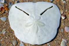 Pansy Shell - a Plett icon South Africa A relative of the Sand Dollar Colorful Roses, Exotic Flowers, Draco Malfoy, Hermione, Shell Tattoos, Exotic Fish, Sea Waves, Flowers Perennials, Shell Crafts
