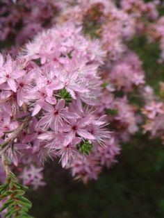 Common Fringe Myrtle (Calytrix teragona) is widespread & variable throughout temperate Australia.