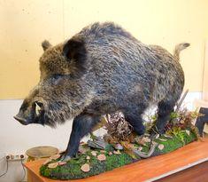 wild boar taxidermy Taxidermy Display, Trophy Rooms, Wild Boar, Wildlife Art, Deer Hunting, Animals Beautiful, Wood Carvings, Man Cave, Outdoors
