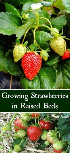 Tips on growing strawberries in raised beds. A raised bed strawberry garden is one of the easiest ways to grow a great strawberry crop. Growing Strawberries in Raised Beds - tips for a successful raised bed strawberry garden Indoor Vegetable Gardening, Container Gardening Vegetables, Veg Garden, Planting Vegetables, Fruit Garden, Organic Vegetables, Growing Vegetables, Organic Gardening, Fenced Garden