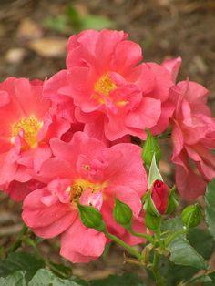 ~Cinco De Mayo Rose | Flickr - Photo Sharing!