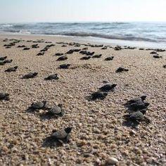 Turtle hatchlings head for the sea #turtle #turtles #tortoise