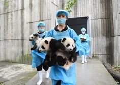 CHENGDU, CHINA - OCTOBER 24:  (CHINA OUT) Breeders carry baby giant pandas during the opening ceremony of 2016 panda kindergarten at Chengdu Research Base of Giant Panda Breeding on October 24, 2015 in Chengdu, Sichuan Province of China.13 giant pandas including six pairs of twin pandas born at Chengdu Research Base of Giant Panda Breeding in 2015.  (Photo by ChinaFotoPress/ChinaFotoPress via Getty Images)