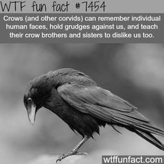 WTF Fun Facts is updated daily with interesting & funny random facts. We post about health, celebs/people, places, animals, history information and much more. New facts all day - every day! Creepy Facts, Wtf Fun Facts, Creepy Quotes, Scary, Random Facts, Crow Facts, Raven Facts, Funny Animals, Cute Animals