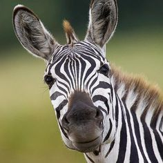 Global Gallery 'Burchells Zebra Portrait, Masai Mara, Kenya' Framed Photographic Print Size: H x W x D Smiling Animals, Funny Animals, Cute Animals, Wild Animals, Safari Animals, Baby Animals, Funny Dog Faces, Funny Dogs, Zebra Face