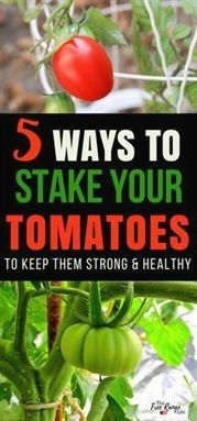 Gardening Tips: How to stake tomatoes so that they stay off the ground and healthy.   Growing Tomatoes   How to Grow Tomatoes   Organic Gardening Tips   Gardening for Beginners  #OrganicGardeningTips