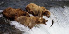 Brown bears catching salmon in the Katmai National Park, south-west Alaska. Bear Fishing, Fishing Hole, Alaska Wallpaper, Hd Wallpaper, Alaska Images, Canadian Animals, Katmai National Park, Cat Dog, Salmon Fishing
