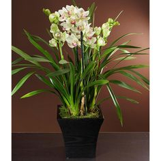 Cymbidium Orchid Plants - Care Tips