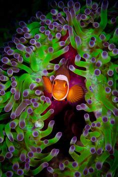Anemonefish - ©Debbie Arriaga http://debbiearriaga.com/raja-ampat/ (via SportDiver)