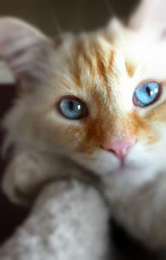 Flame point Ragdoll Persian cat (weasley)