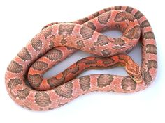 Colorful Snakes, Small Snakes, Rat Snake, Corn Snake, Snake Breeds, Black Rat, Reptile Room, Reptiles And Amphibians, Coral