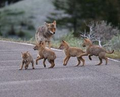 Coyote pups play in Yellowstone National Park – Image by Dr. McGinn -- What a grand nature safari this national park is – fabulous for families, nature lovers, adventurers, and photographers! Enjoy the Wildlife Highlights of Yellowstone Animals And Pets, Baby Animals, Cute Animals, Beautiful Creatures, Animals Beautiful, Coyote Pup, Tier Wolf, Wild Dogs, Mundo Animal