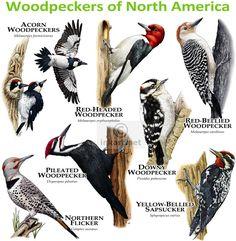 Woodpeckers of North America Art Print by Wildlife Art by Roger Hall - X-Small Polo Sul, Polo Norte, Diy Bird Feeder, Humming Bird Feeders, Squirrel Feeder, Downy Woodpecker, Woodpecker Feeder, Northern Flicker, Bird Identification
