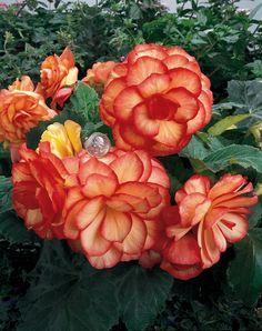 On+Top®+Sunset+Shades+-+Tuberous+Begonia+-+Begonia+x+tuberhybrida
