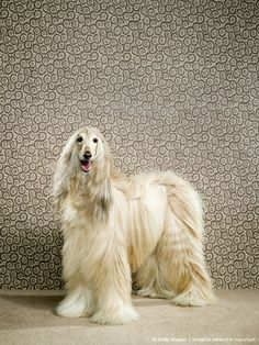 Afghan Hound Wallpapers HD Download