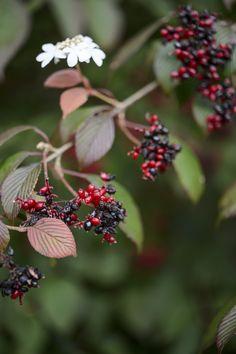 30 best beautiful berries images on pinterest garden plants viburnum plicatum f tomentosum darts red robin mightylinksfo
