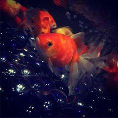 【smooch10】さんのInstagramをピンしています。 《#ミヤテレアクアリウム #ミヤテレAQUARIUM #光と音のアクアワールド #ミヤテレ #アクアリウム #さくら野 #さくら野百貨店 #さくら野百貨店仙台店 #金魚》