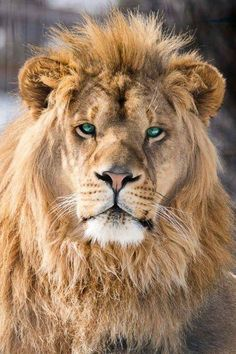 BIG AFRICAN LION SITTING SUN PHOTO ART PRINT POSTER PICTURE BMP009A