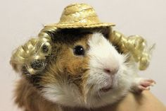 A Japanese designer is creating accessories—including Santa Claus costumes and blonde wigs—for guinea pigs.