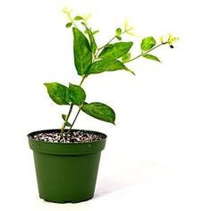 9GreenBox - Jasminum Sambac -Single- Arabian Jasmine Live Plant, Black, Gardening