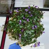 Tini Bopper African Violet - - Yahoo Image Search Results