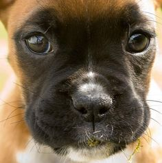 Boxer puppy... love that face!