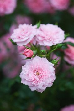 Lovely pink Flower Beds, My Flower, Shrub Roses, Love Rose, Everything Pink, Tea Roses, Beautiful Roses, Pretty In Pink, Climbers