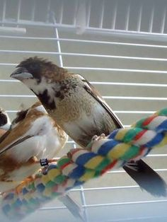 Crested Society Finches & Bengalese Finches for sale 10.00 & 15.00 each.