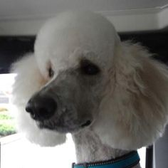 Standard poodles are great dogs...
