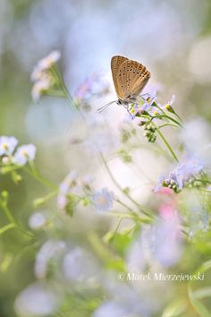 Forget-me-nots with butterfly by Marek Mierzejewski www.butterfly-photos.org on 500px