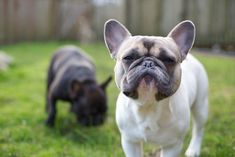 A Very Snobbish French Bulldog.